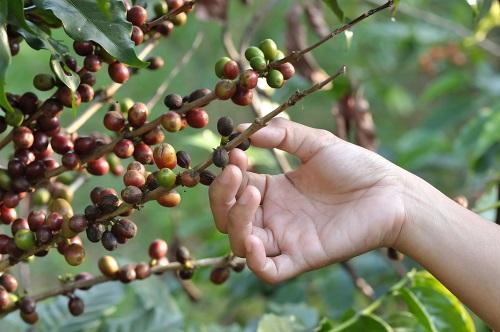 Pflücken der Kaffeebohnen