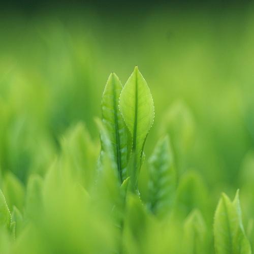 Zubereitung von Gelbtee: ein paar Teeblätter reichen