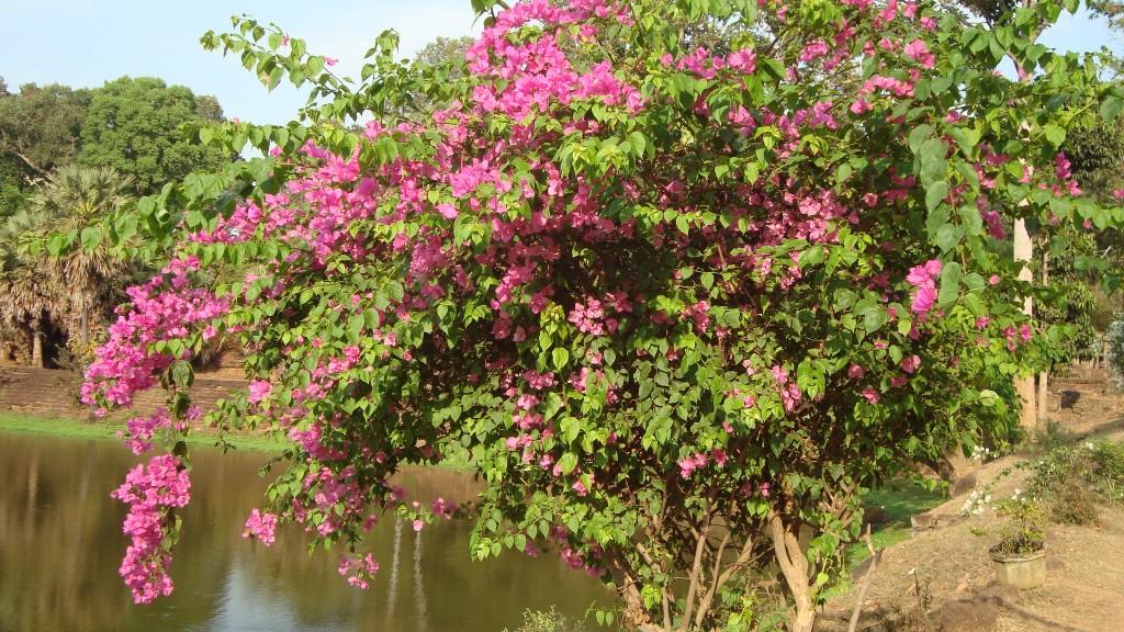 Strauch am Wassergraben von Bakong