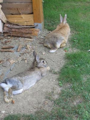 Kaninchen bei der Mittagsruhe